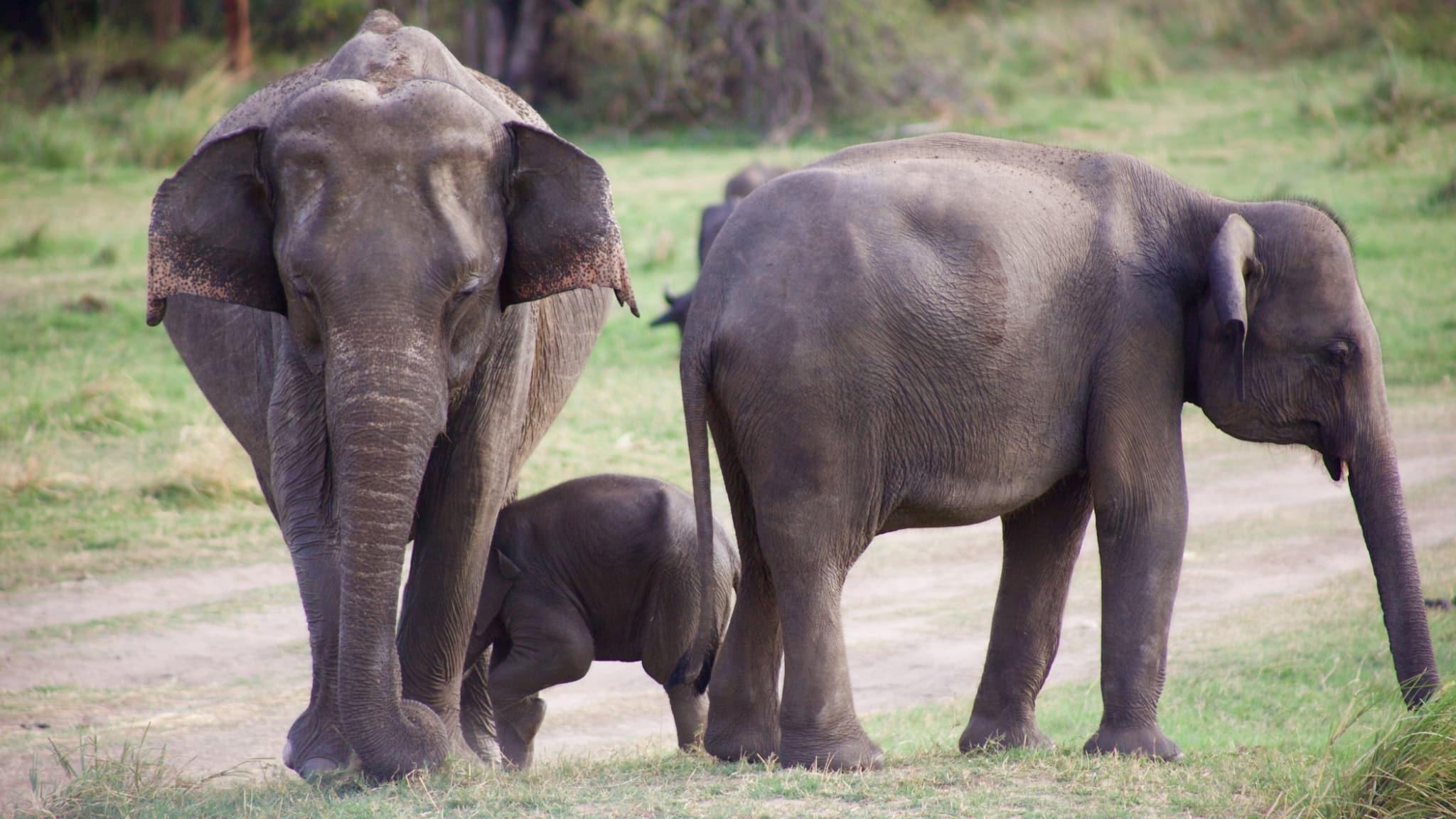 safari sri lanka elephants