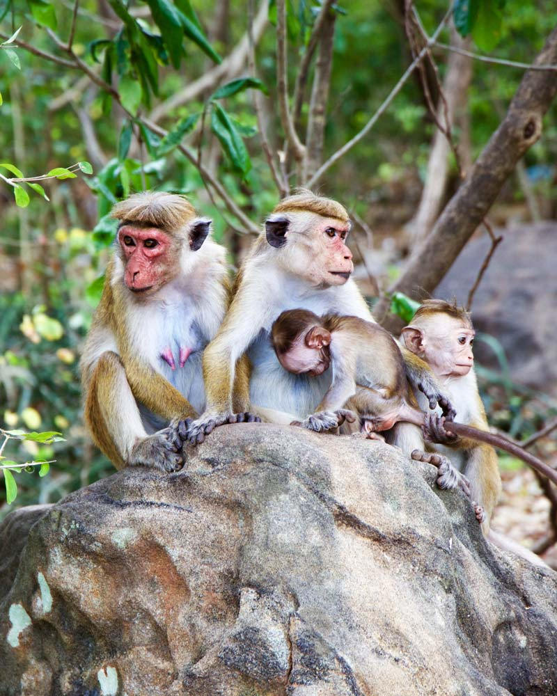 Monkeys in Asia