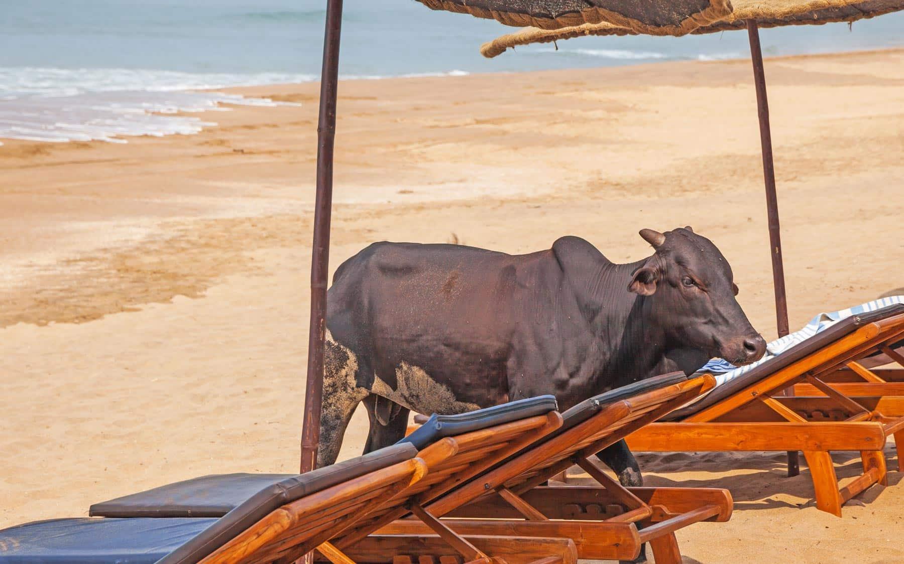 Agonda Beach India Cow