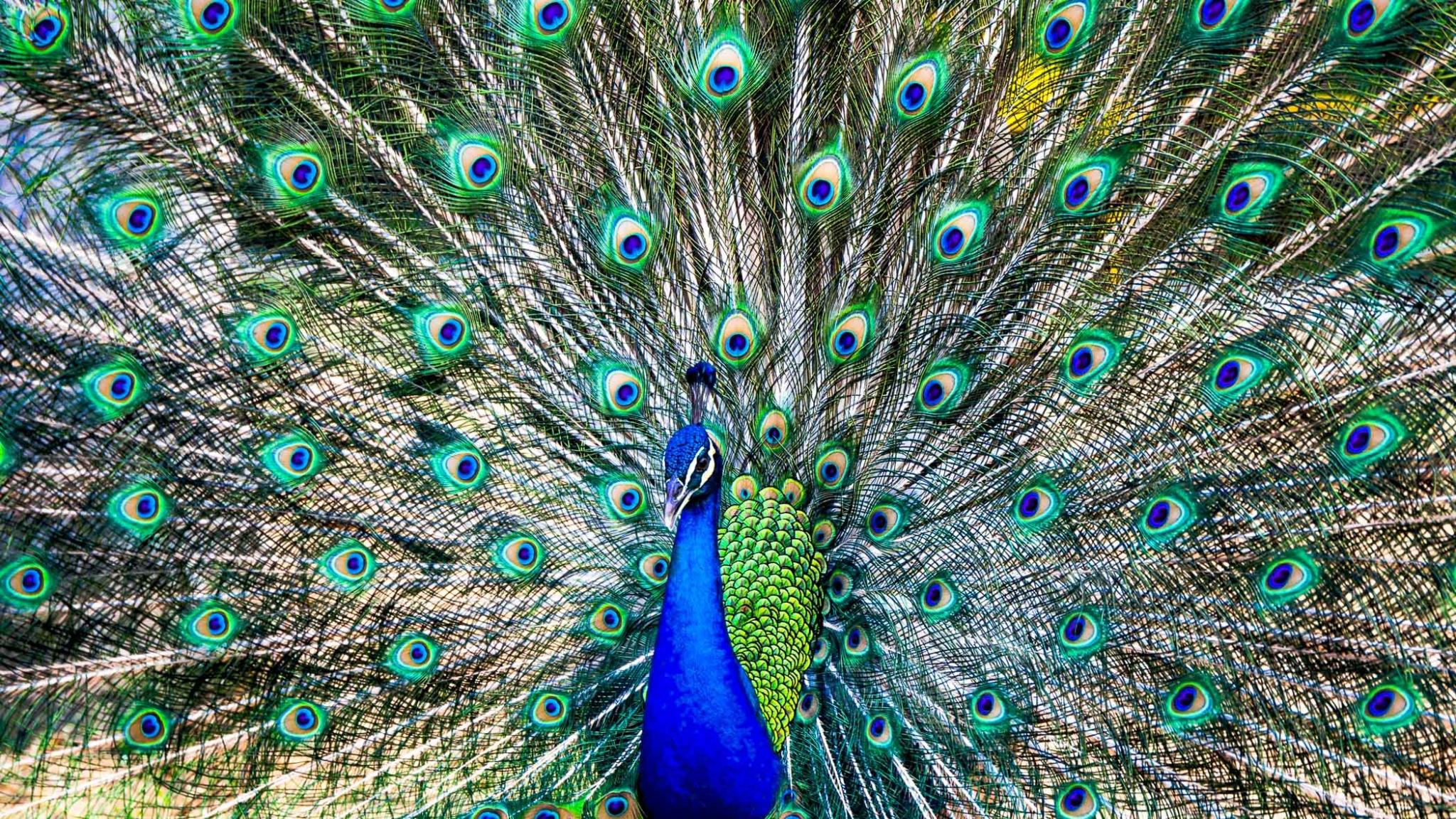 Peacock Singapore