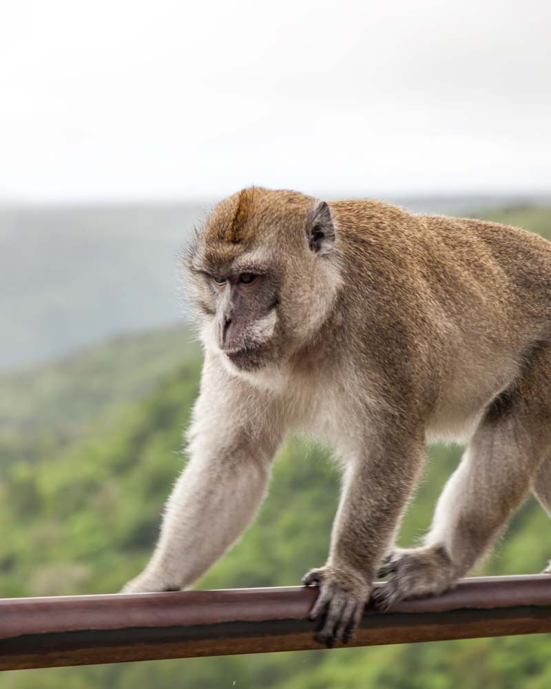 Monkey In Mauritius