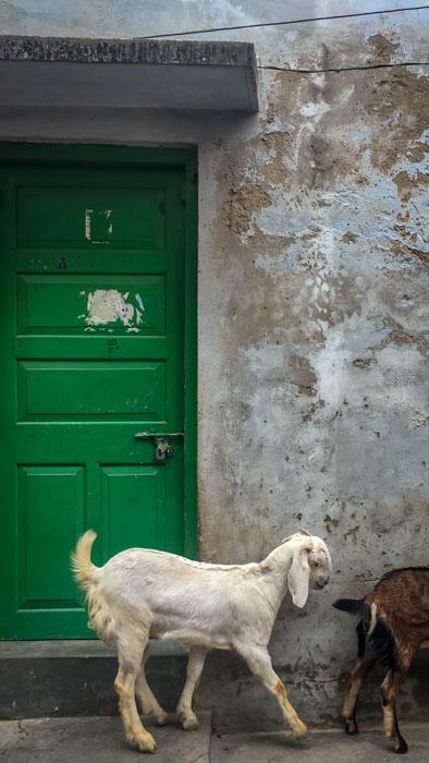 Goats in Varanasi