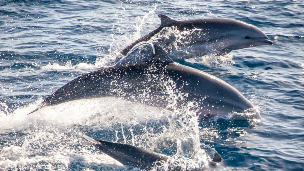 Three Dolphins jumping out of the water in Dominica