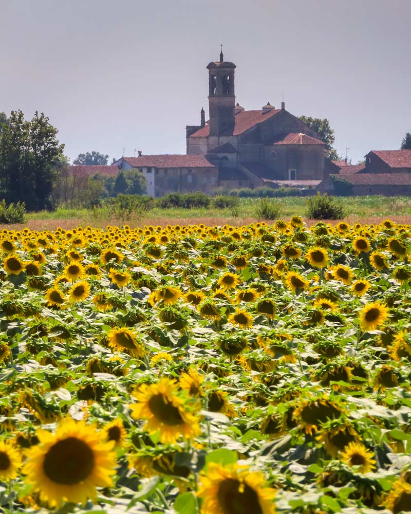 Sunflowers spotted on the drive into Cremona