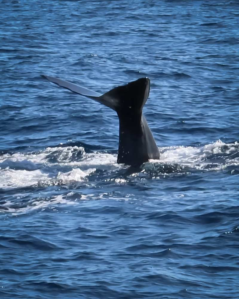 A sperm whales tail spotted in Dominica