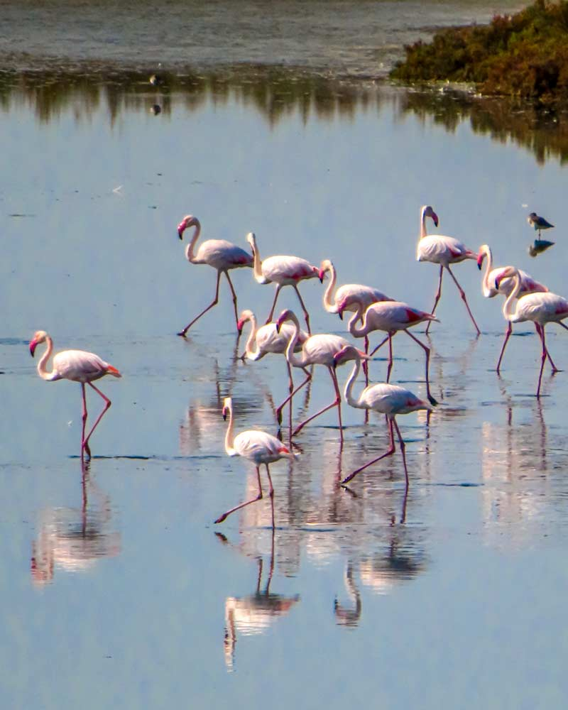 Flamingos in the saltworks of the Po Delta