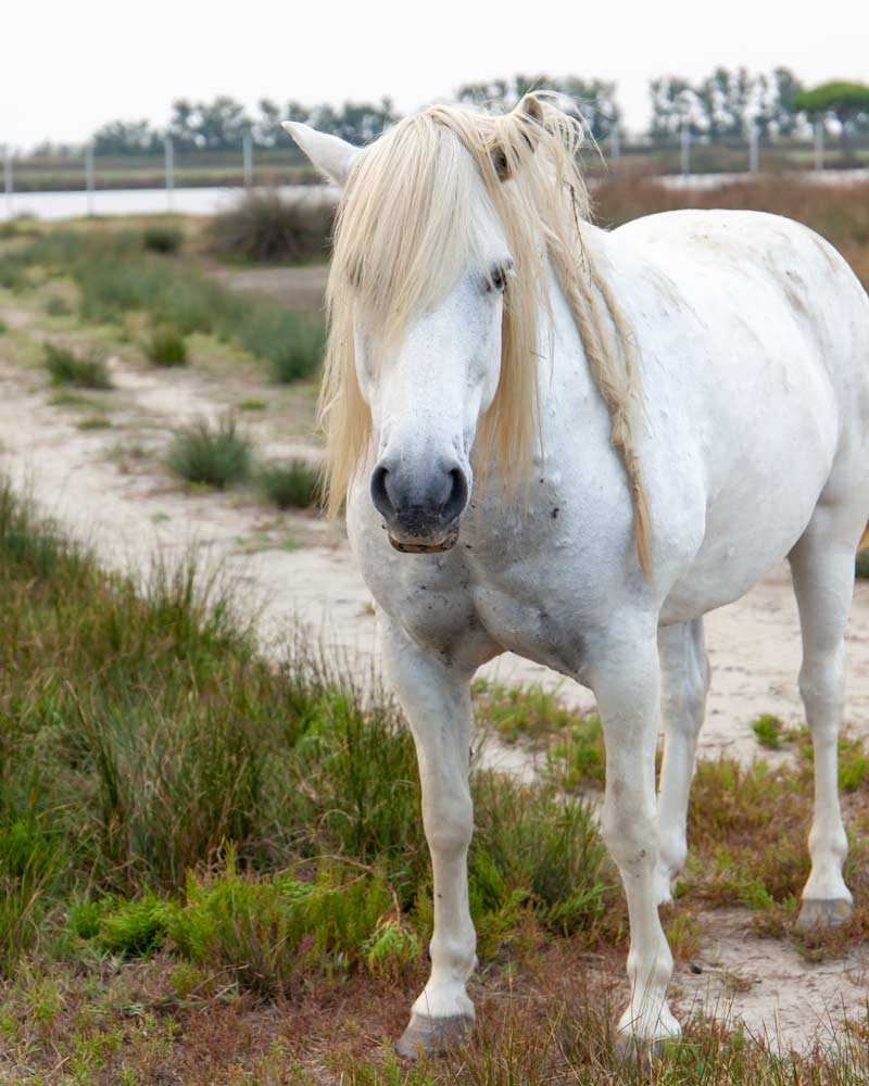 A white horse in the Po Delta
