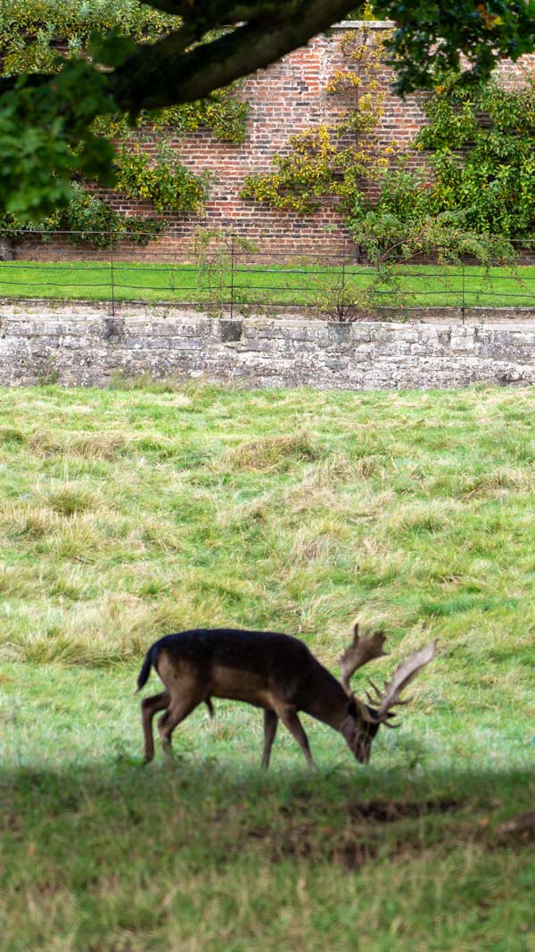 Deer in Raby Castle Grounds