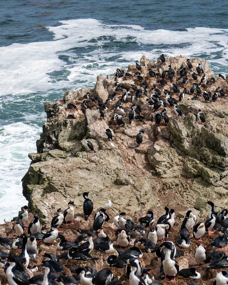 Countless cormorants seen on East Falkland Island