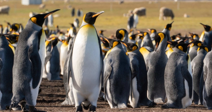 A king penguin colony at Volunteer Point