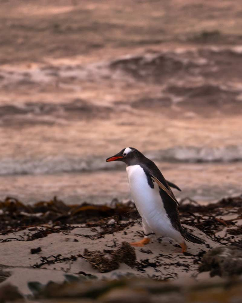 A gentoo penguin at sunset at The Neck, Saunders Island