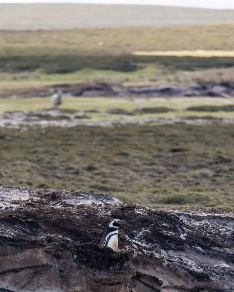 A Magellanic penguin pops out from its burrow on Weddell Island