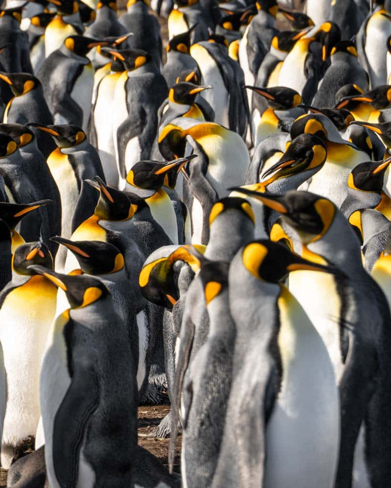 A colony of king penguins at volunteer point falkland islands
