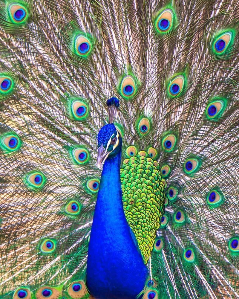 Peacock on Sentosa Island